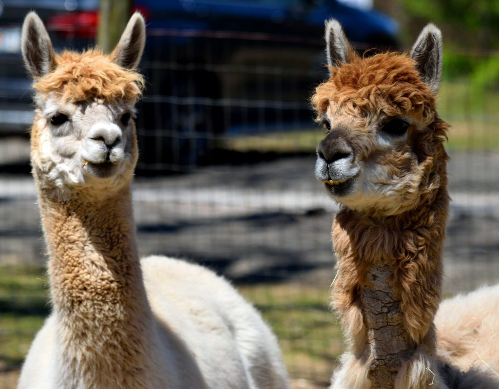 alpaca - tackling loneliness as a young carer